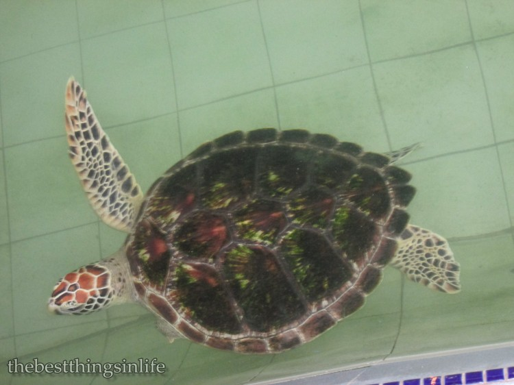 One of the turtles in the sanctuary...