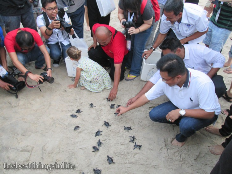 Dato' Sharkar releasing the baby turtles to the sea...